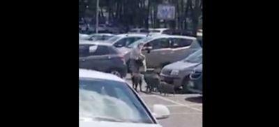 Une femme rackettée par des sangliers sur le parking d'un...