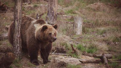 Un ours du parc Planète sauvage retrouvé dans un jardin