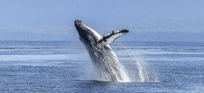 Un pêcheur « avalé » par une baleine s'en sort sain et sauf !
