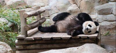 Bébé panda à Beauval ? Encore quelques semaines de suspense…