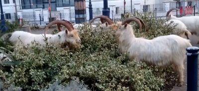 Un village envahi par des chèvres sauvages ! (Vidéo)
