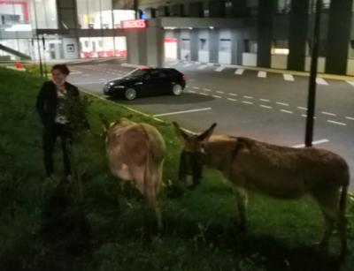 Saint-Cyr-sur-Loire : deux infirmières attachent des ânes perdus...