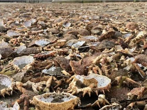Une plage de St Malo recouverte de carcasses d'araignées de mer