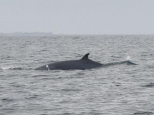 Une baleine à bosses et deux rorquals observés au large des côtes...