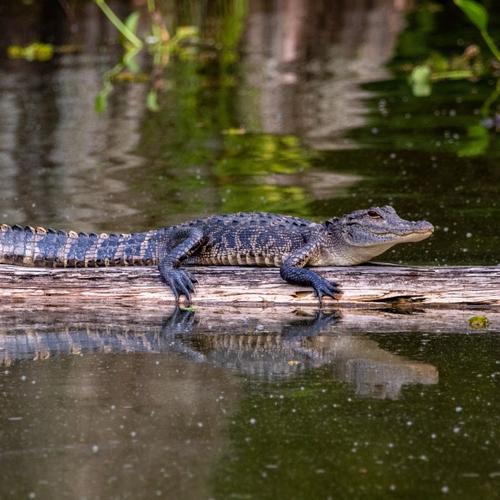 Le crocodile et le mange-mil