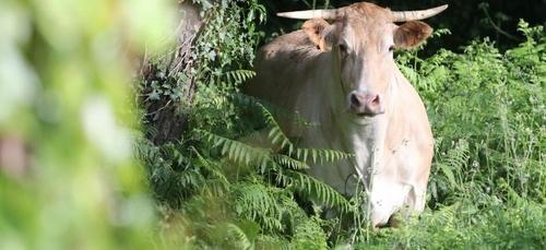 Une vache fugue en pleine nature pour tenter d'échapper à l'abattoir