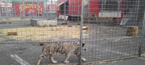 Polémique autour d'un cirque avec animaux sauvages à Chenôve.