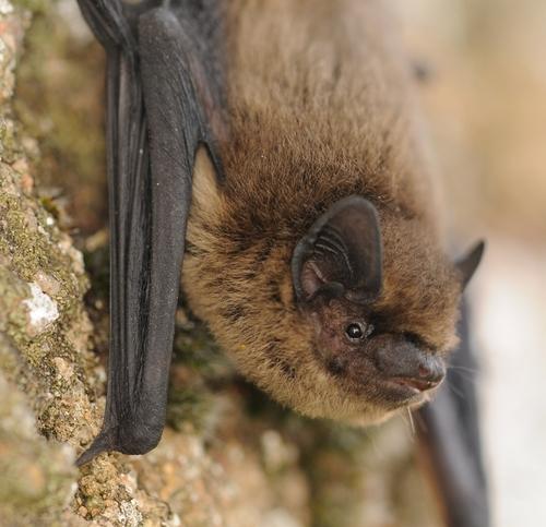 Plus de 100 refuges pour les chauves-souris en Bourgogne
