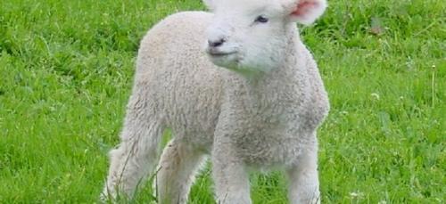 Protéger les moutons... contre le vol!