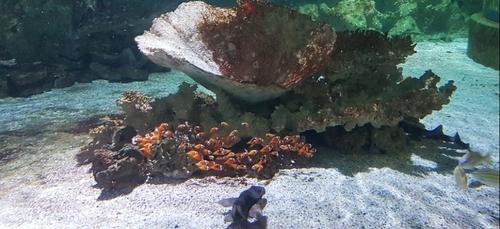 150 petits poissons-clowns à la nurserie tropicale de l'Océarium du...