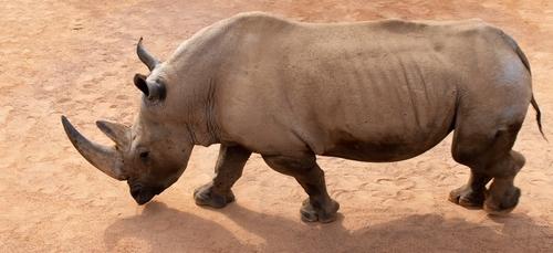 """""""Ajang"""" le rhinocéros de Branféré victime d'une crise cardiaque"""
