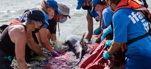Un pic d'échouages de dauphins en Loire-Atlantique