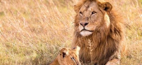 L'Afrique du Sud va interdire l'élevage de lions en captivité pour...