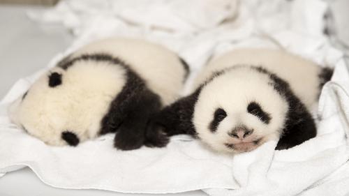 Zoo de Beauval : de nouvelles images des bébés panda !
