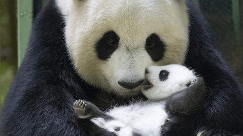 Zoo de Beauval : les bébés panda ont ouvert les yeux !