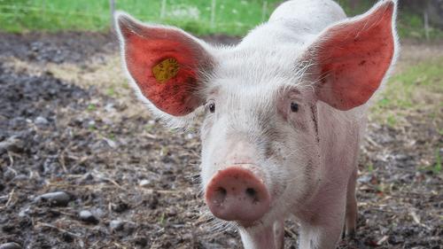 Pays-Bas : Des cochons pour sécuriser l'aéroport d'Amsterdam
