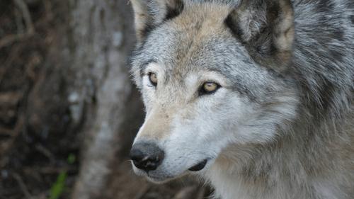 Un loup découvert en Loire-Atlantique