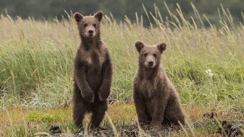Japon : une chanson rock pour protéger les habitants des ours