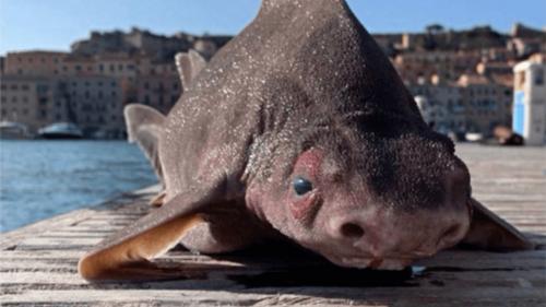 Italie : Découverte d'un requin… à la tête de cochon !