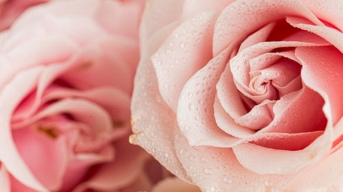 Octobre Rose : un ruban géant composé de 700 roses va être installé...