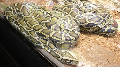Blénod-Lès-Pont-A-Mousson : le python fugueur enfin retrouvé