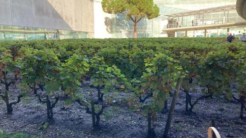 Bordeaux : l'heure des vendanges pour le vignoble de l'aéroport