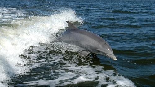 Île de Ré : solidarité pour sauver des dauphins échoués