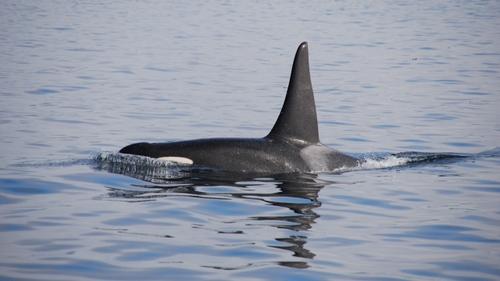 Des orques suivent un bateau de pêcheurs au large du Cap Ferret