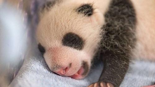 Zoo de Beauval : les jumelles panda fêtent leur un mois !  (VIDEO)