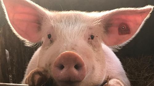 Le Tremblay : 33ème Fête du Cochon le dimanche 10 Octobre prochain !