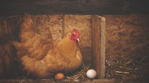 Les poules dans le jardin, de nombreux avantages et quelques...