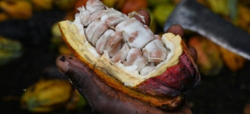 Côte d'Ivoire: 250 milliards FCFA pour le  cacao et les grandes...