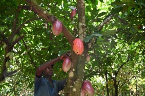 """Cacao: les planteurs ivoiriens menacent de """"boycott"""" les..."""