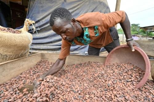 A M'Brimbo en Côte d'Ivoire, le succès du cacao bio, meilleur et...