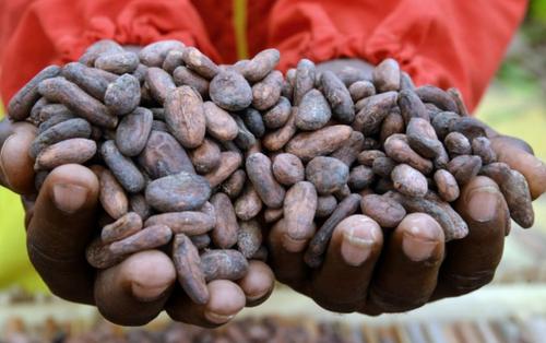 Les planteurs de cacao emboîtent le pas au régulateur pour faire...
