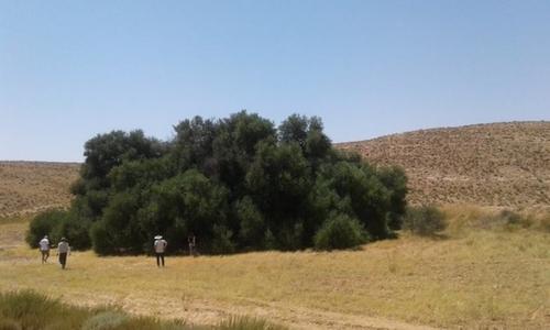 (Vidéo) La Tunisie abrite-elle le plus grand olivier du monde?