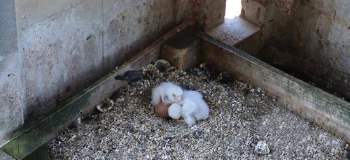 Saint-Nicolas de Port : Naissance de faucons pèlerins