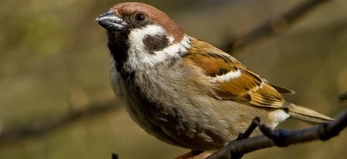 Effondrement du nombre d'oiseaux des villes et des champs depuis 30...