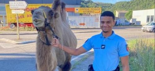 Un chameau récupéré par la gendarmerie sur un rond-point (Photo)