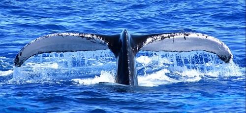 Golfe du Mexique : une nouvelle espèce de baleine découverte
