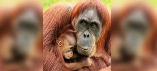Zoo de la Boissière du Doré : naissance rare d'une orang-outan de...