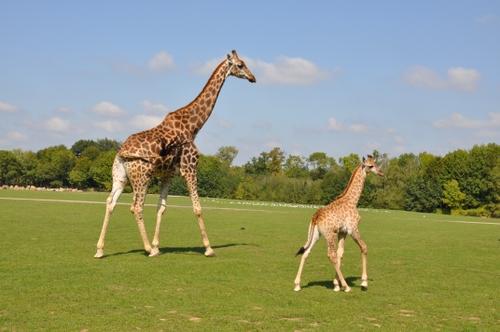 Naissance exceptionnelle à Planète Sauvage : un girafon vient de...