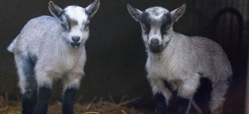Votez pour choisir les noms de deux chevreaux nés au zoo African...
