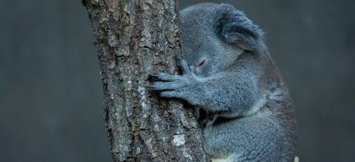 Zoo de Beauval : une grande collecte pour l'Australie