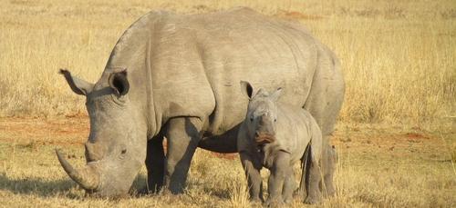 Damien Vergnaud aide les rhinocéros contre le braconnage