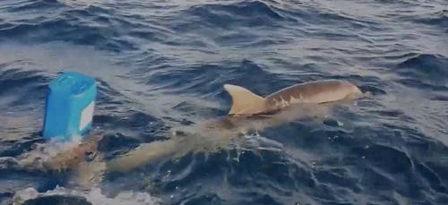 Un homme sauve un dauphin et son petit à Saint-Cyr-sur-Mer (Vidéo)