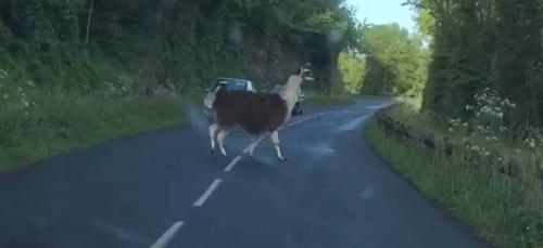 Une automobiliste se retrouve face à un lama près d'Angers (Vidéo)