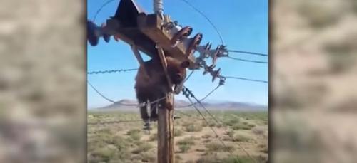 Un ours coincé sur un poteau électrique sauvé in extremis (VIDÉO)
