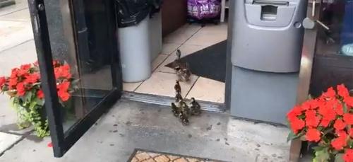La vidéo de cette famille de canards en vadrouille dans un magasin...