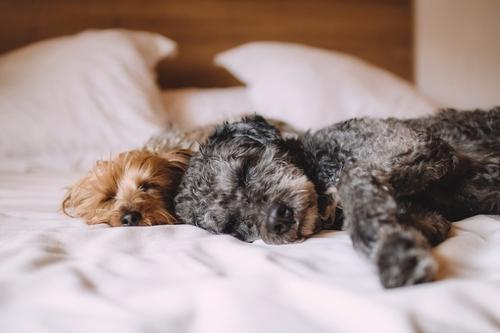 Dormir près de son chien est bon pour le sommeil !